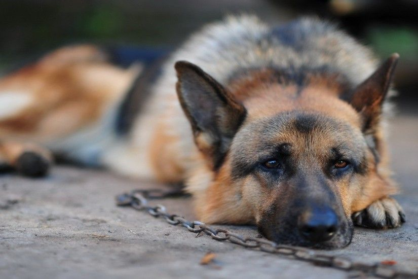 How to Make German Shepherds Your Perfect Herding Assistant