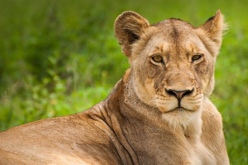 4K HD Wallpaper: Wild Lioness · Lioness Portrait in this Photo from South  Africa