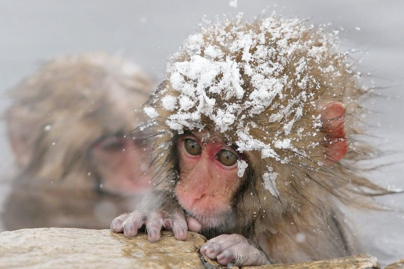 Image result for Macaque, Newborn, Snow Monkey