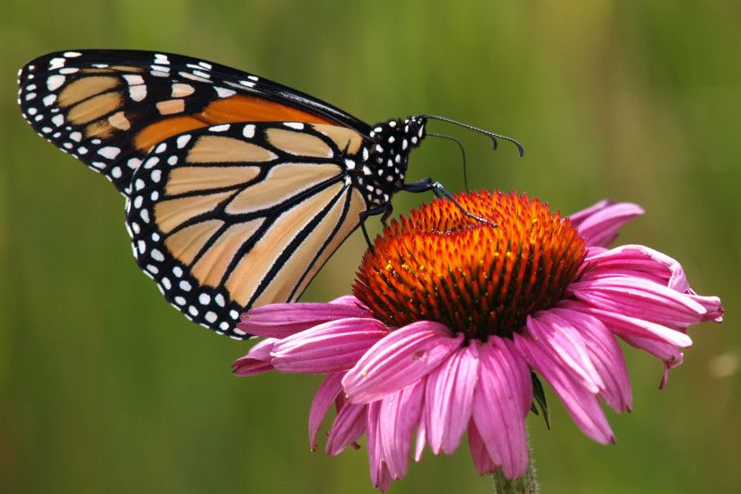 Butterfly Flower Wallpaper Images