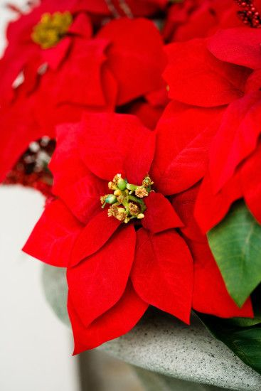 Nice wallpapers Poinsettia 1527x2290px