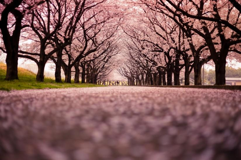 cherry blossom wallpaper 1920x1200 download free