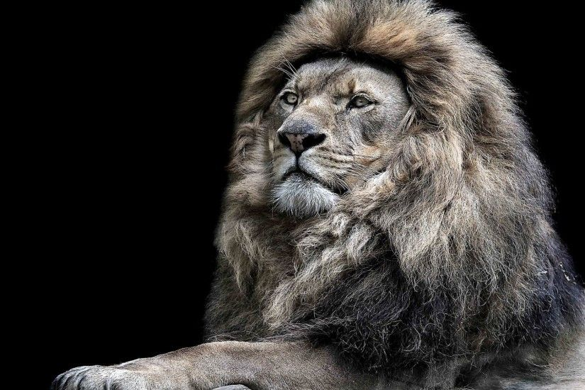 Lion Wallpapers | Free Download new wild animals cub HD Desktop Images ...
