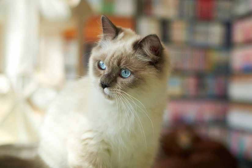 cat, Animals, Siamese Cats, Blue Eyes, Blurred Wallpapers HD / Desktop and  Mobile Backgrounds