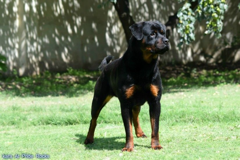 rottweiler - Full HD Wallpaper, Photo 2600x1733