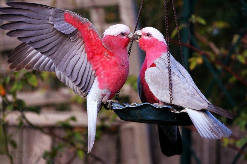 Awesome Love Birds Wallpapers HD Images