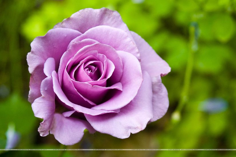 Purple rose in a flowerbed on a background of green wallpapers and images -  wallpapers, pictures, photos