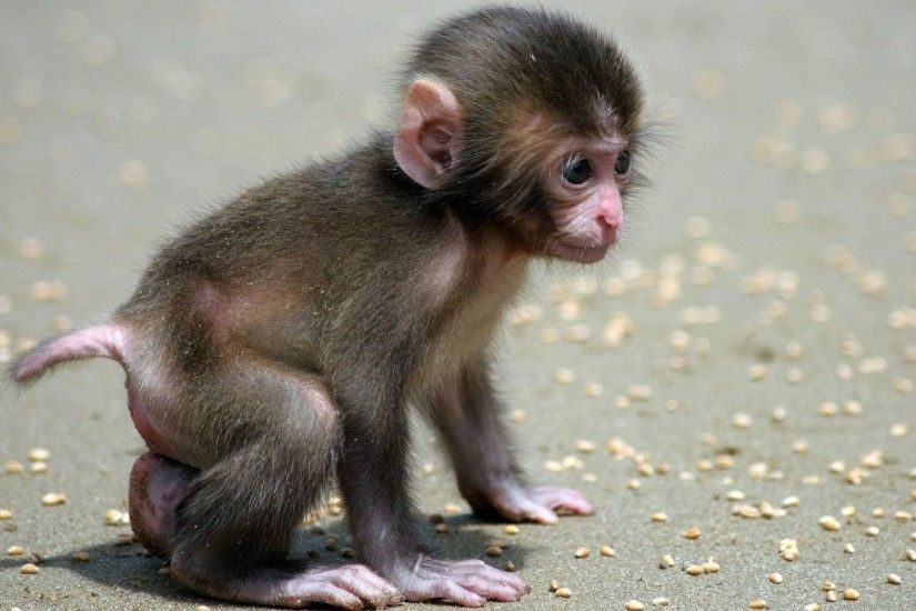 Baby Monkey wallpapers