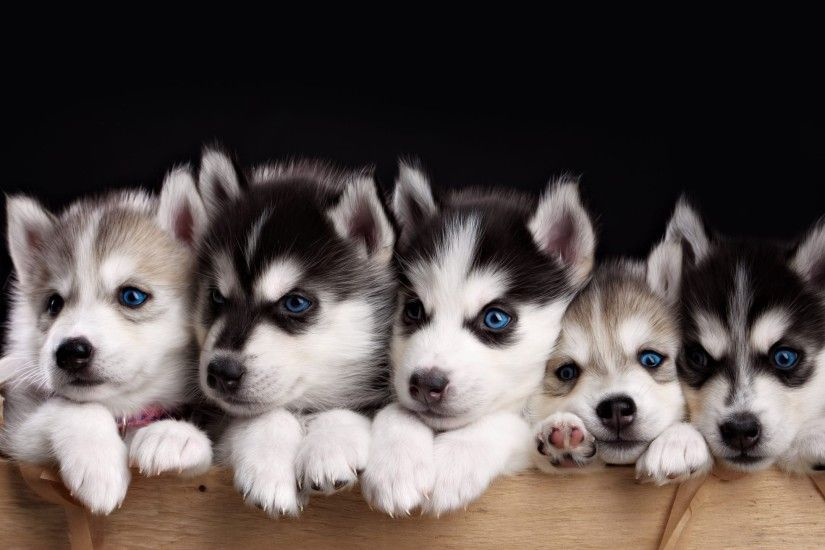 Wallpapers Of The Day: Husky Puppies | 2560x1440 Husky Puppies Photos