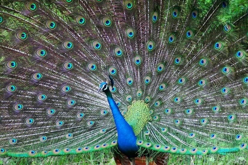 Preview wallpaper peacock, bird, tail, male, patterns, posture 3840x2160