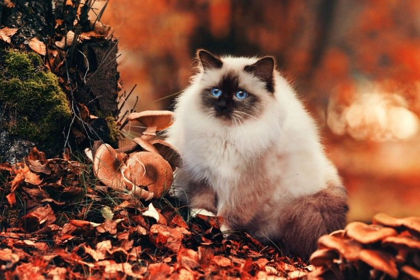 1920x1080 Wallpaper cat, fluffy, foliage, autumn