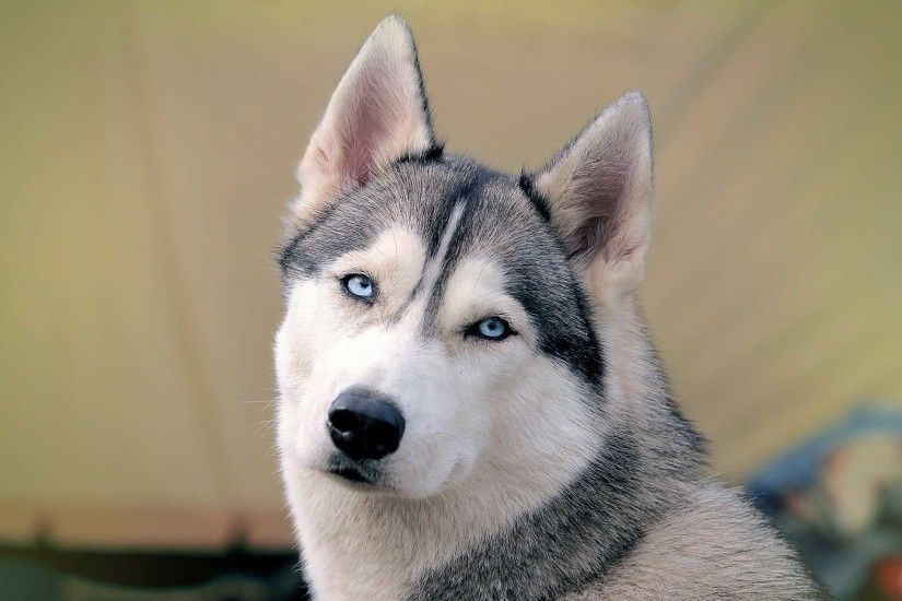 beautiful siberian husky wallpaper. Â«Â«
