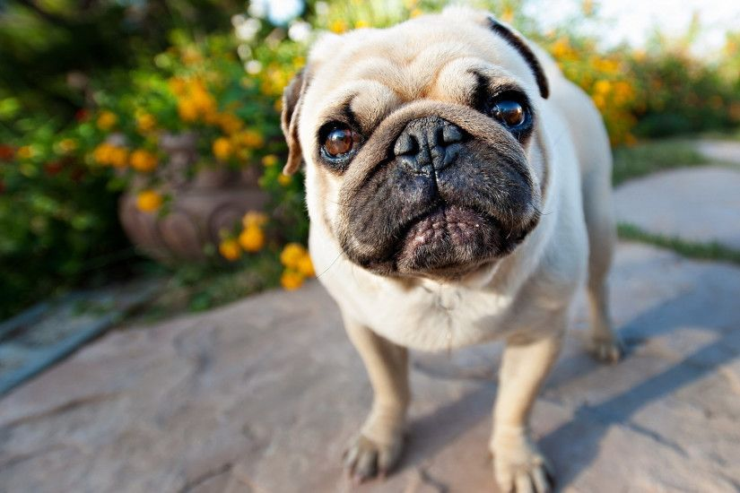 Free-Photos-HD-Pug-Wallpapers