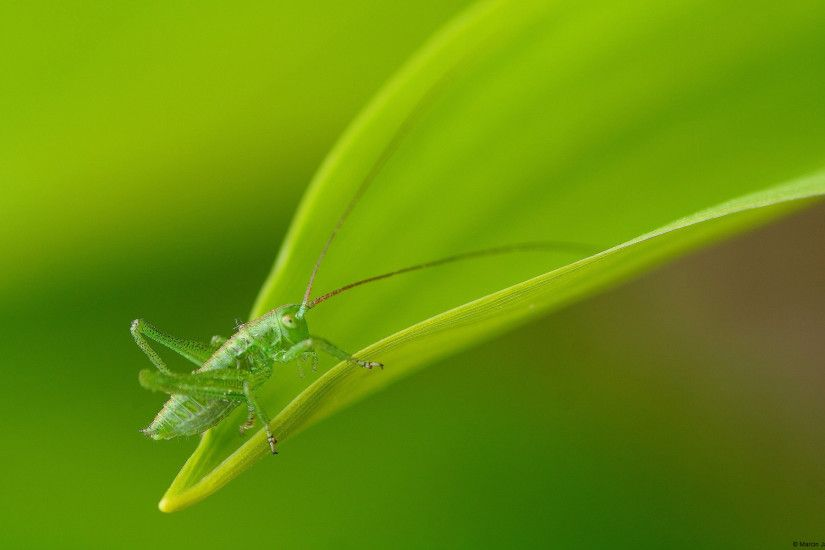 Dew on leaves Windows 8 Grasshopper in Biebrza Nature Reserve, ...