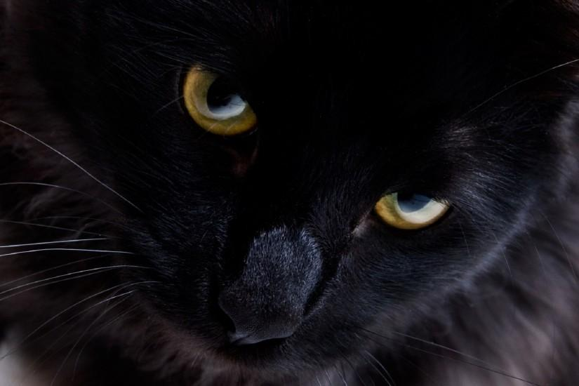 Persian black cat Wallpapers Pictures Photos Images. Â«