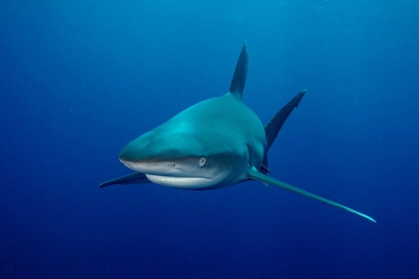 Animal - Shark Fish Bull Shark Wallpaper