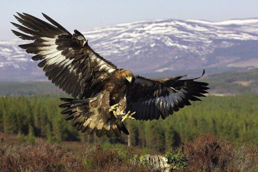 Golden Eagle wallpaper background widescreen for iphone 1920×1080