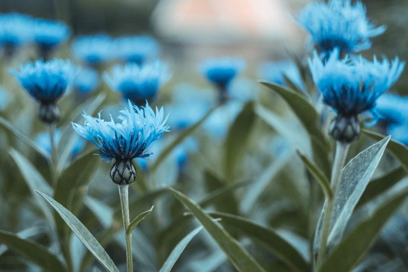 Flowers / Blue flowers Wallpaper