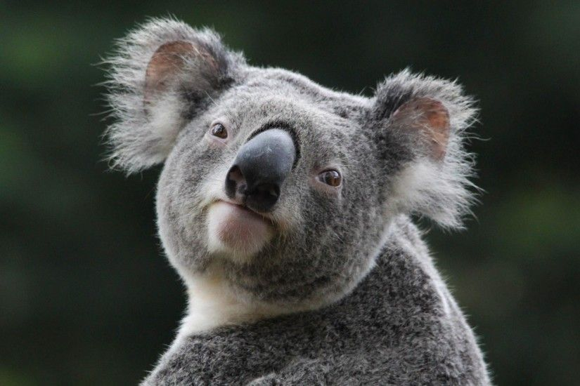 2048x1365 Wallpapers For > Cute Koala Wallpaper
