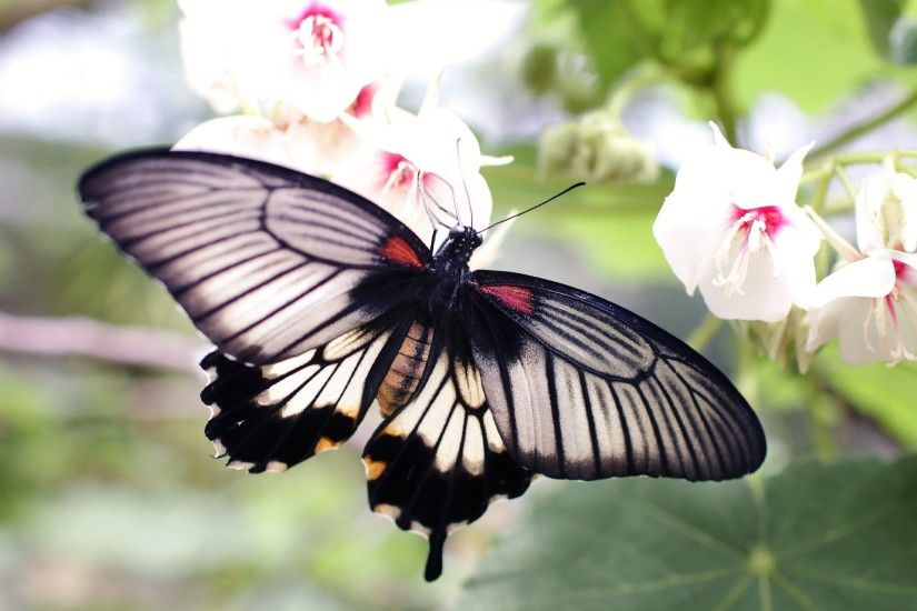 New HD wallpaper with marvelous Black Butterfly on White Flowers · Download  the free picture from links listed below at 2K, HD and Wide sizes for apply  in ...