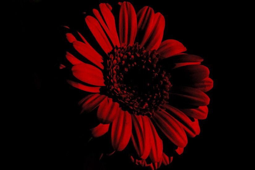 Flower The Black Background Free Stock Public