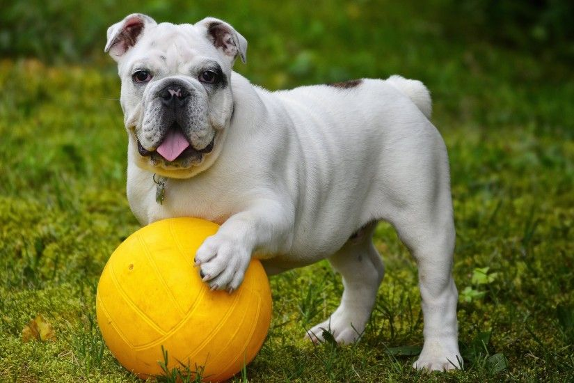 free high resolution wallpaper english bulldog - english bulldog category