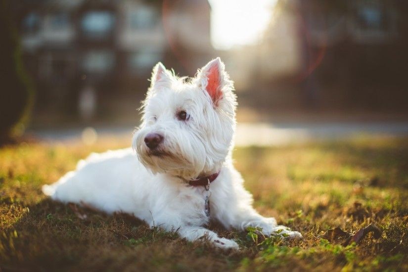 Images Of West Highland White Terrier Wallpaper Sc