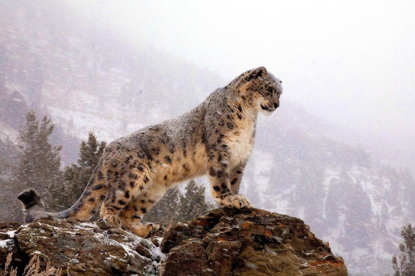 Themed Snow Leopard Wallpaper Cheap Space Ideas Design Accessorizing Colors  Wonderfully Manage Solid