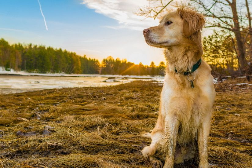 ... Golden Retriever Wallpaper ...