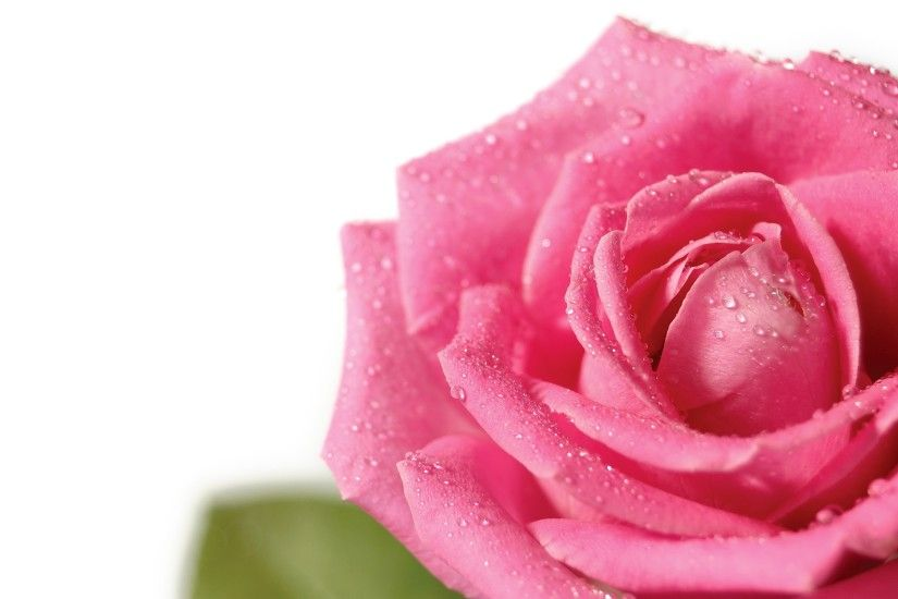 Fresh pink rose Wallpaper Flowers Nature Wallpapers