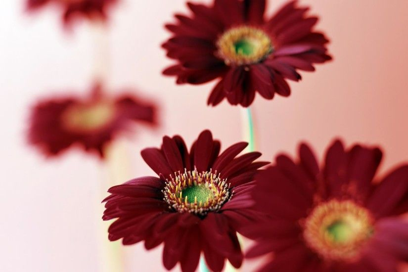 Colorful Daisy Wallpaper Full HD Colorful Tumblr Pink Daisy Black |  Wallpapers 4k | Pinterest | Daisy wallpaper and Wallpaper