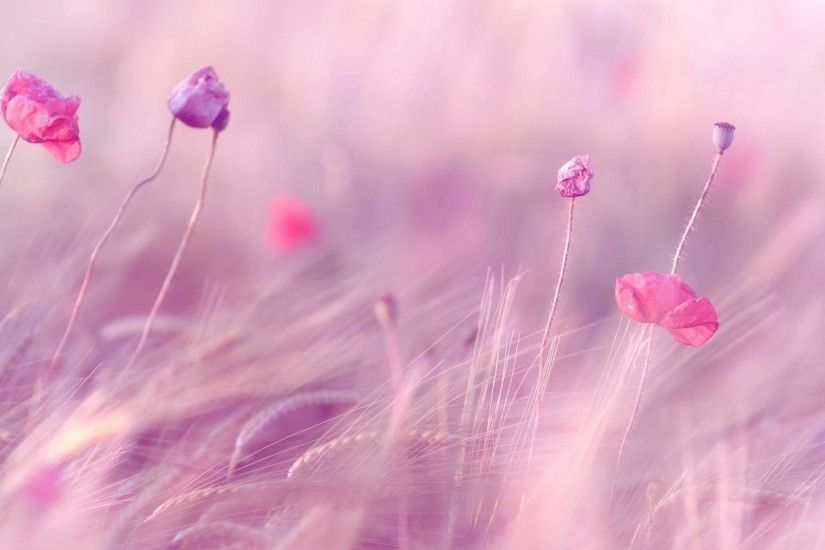 flower flowers pink the field ears wheat rye purple flowers field background  wallpaper widescreen full screen