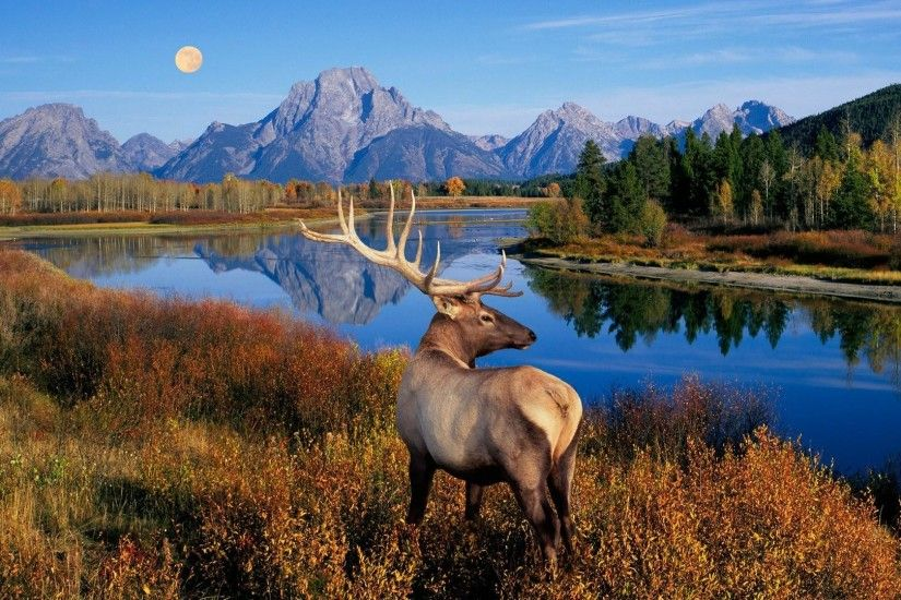 Bull <b>Elk Wallpapers HD</b> FREE - Android Apps on