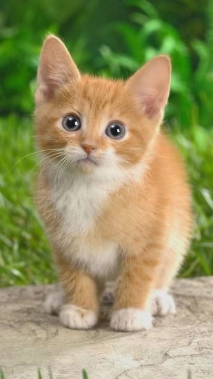 Captivating Cute Cats Hd Wallpapers For Iphone 7 | Wallpapers.pictures With  Iphone 6 Kitten Wallpaper