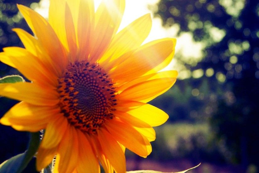 Preview wallpaper sunflower, flower, light 2048x1152