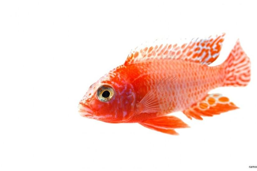 aulonocara firefish white background