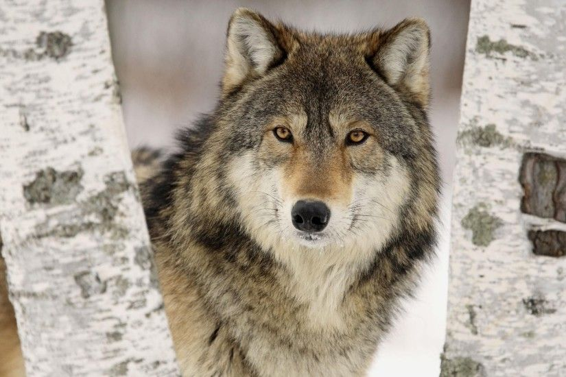 Wolf Wallpaper HD 43159