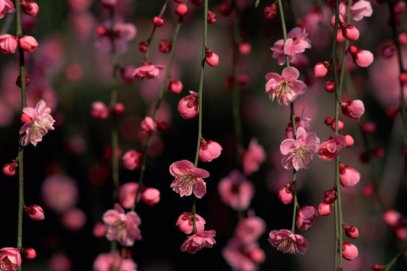 Cute-pink-cherry-blossom-high-resolution-wallpapers
