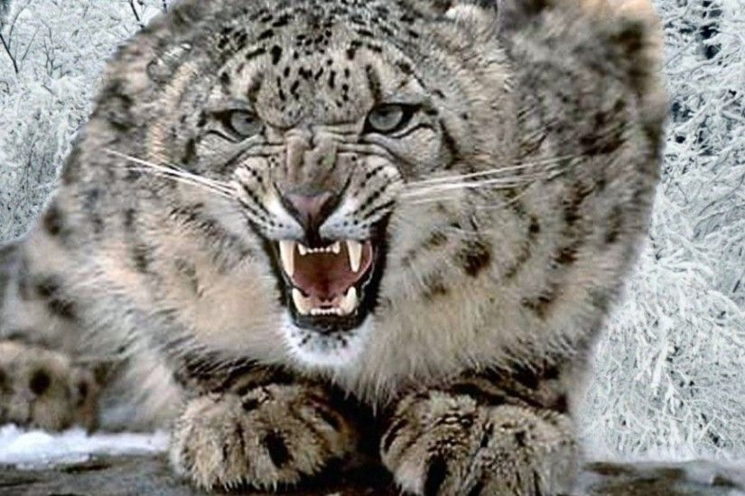 pin Snow Leopard clipart high resolution #5
