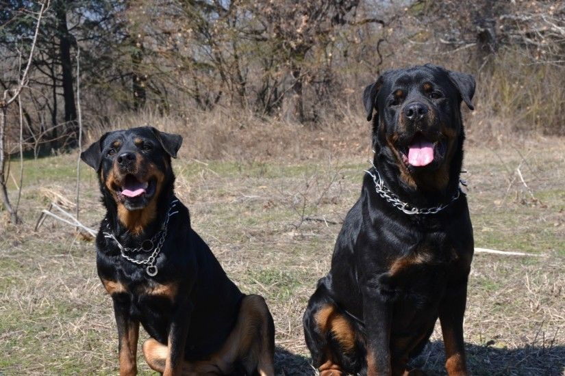 Couple funny Rottweiler