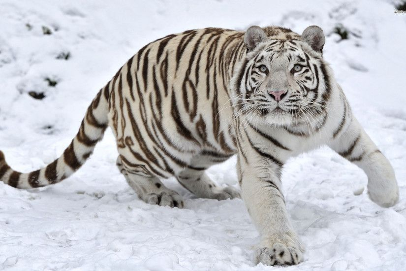 Baby White Tigers In Snow