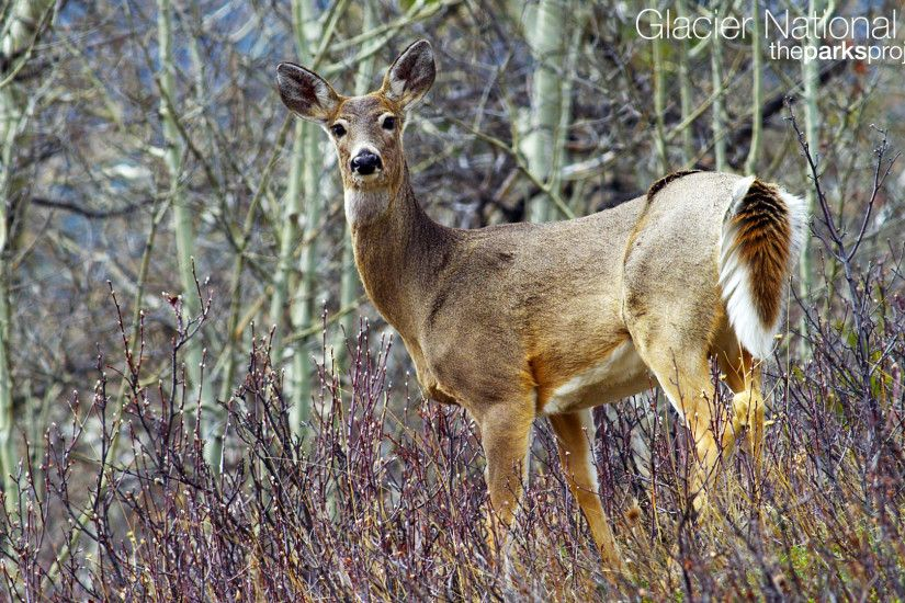Whitetail Deer Wallpaper