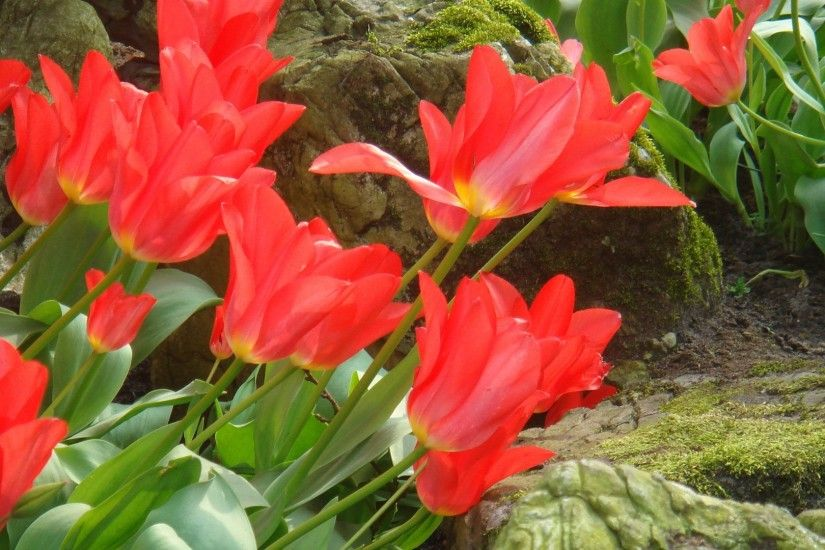 Red Tulips Wallpaper Flowers Nature Wallpapers