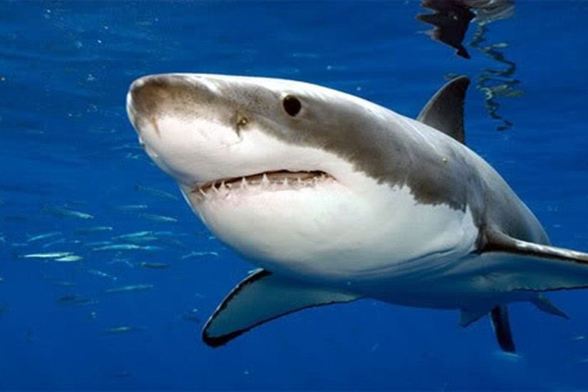Great White Shark Clipart