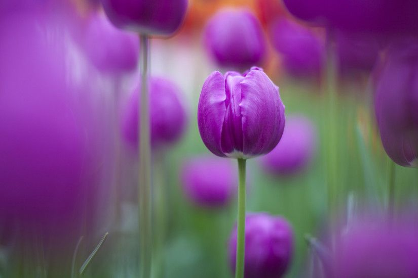 Purple Tulips Wallpapers | Free HD Wallpapers for Desktop, iPad .