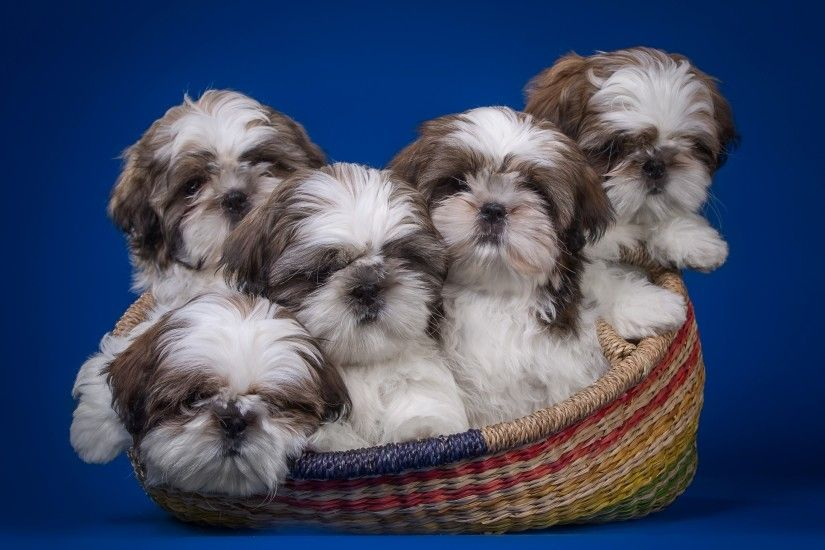 Shih Tzu Wallpapers and Screensavers