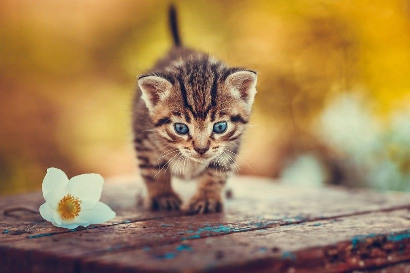 Kitten Wallpaper. Download Kitten Wallpaper. Best sweet desktop backgrounds  for computer and other device