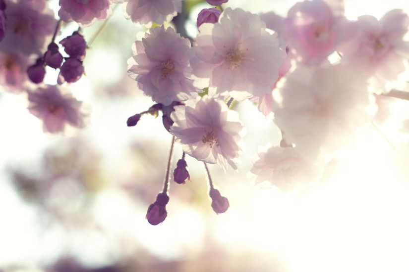 White Cherry Blossom Wallpapers Screen HD Images.