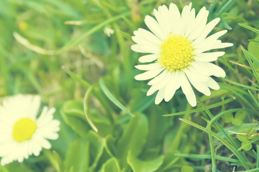 green background daisy wallpapers
