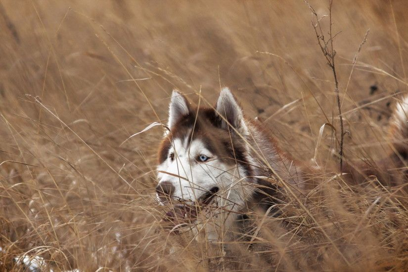 siberian husky wallpaper 1177